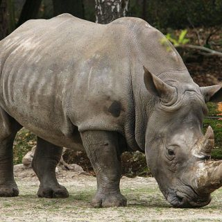 101585618  Where are South Africa's missing rhinos? | Sunday Independent 101585618 320x320
