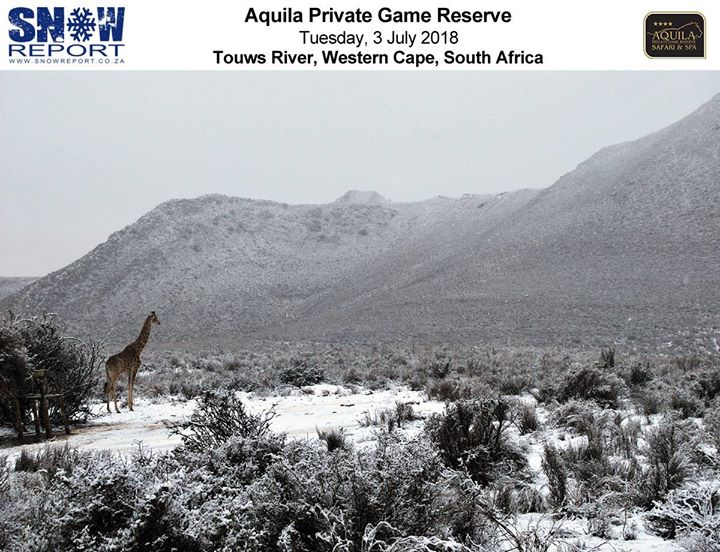 36553185_1580189005441781_5584281074843779072_o  An unusual photo of a giraffe in today's snow taken at Aquila Private Game Reser… 36553185 1580189005441781 5584281074843779072 o