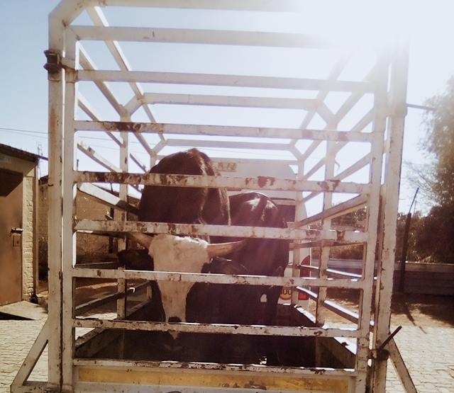 36690351_2369342023092726_2136138204124807168_n  Three behind bars for  #StockTheft: Pampierstad  In the early hours of Wednesday… 36690351 2369342023092726 2136138204124807168 n