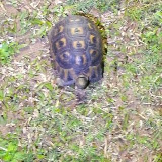 Tortoise Found: Trenance Park – KwaZulu Natal   The public is requested to assis… 37322682 2022048017813782 475332942705459200 n 320x320