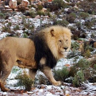 A-lion-in-the-snow.-Photo-from-the-Aquila-game-reserve-in-the-Western-Cape.-Firs