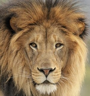 Lions-eat-3-poachers-on-Eastern-Cape-game-reserve  Lions eat 3 poachers on Eastern Cape game reserve Lions eat 3 poachers on Eastern Cape game reserve 300x320