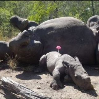 Baby rhino found huddled by dead mother's body after poacher attack Baby rhino found huddled by dead mothers body after poacher attack 320x320