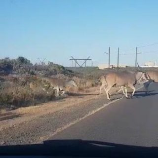 Somewhere in Cape Town this morning… The bucks/eland/??? were up to their usua… 43917062 304222547089422 5998135434767499264 n 320x320