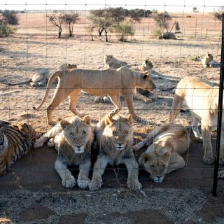 54 lions killed in two days: Horror find at South African farm UGYRJDFE3NBPHD5HQ2TE2L6YTY 320x320