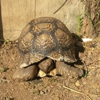 Search For Missing Tortoise: Verulam – KZN  The public is requested to be on the… 65047284 2558949514123627 8529689296192405504 n 320x320
