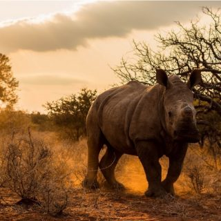Draft regulations could spell death for South Africa's rhinos.  South Africa's M… 65715997 648570562328669 4921213647046311936 o 320x320
