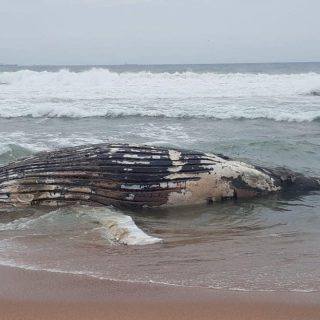 Whale Carcass Washed Up: Umhlanga – KZN  These pictures of a whale carcass that … 71951524 2775223312496245 4264633917673308160 o 320x320