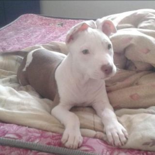 Pit Bull Pup Stolen: Brindhaven – KZN  The public is requested to be on the look… 79664539 2921189857899589 8997705766404096000 n 320x320